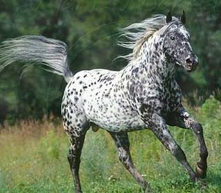 appaloosa-horse